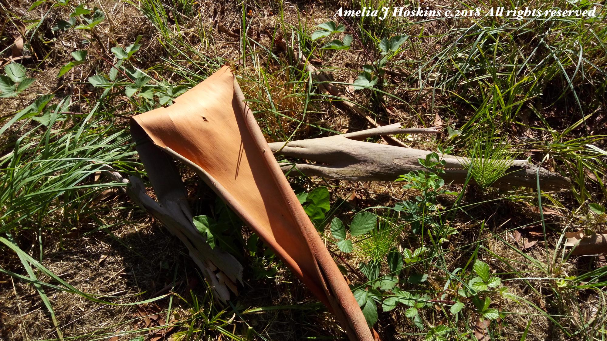 Eucalyptus shedded bark ground- IMG_20180808_165249 - 004 - edited annotated